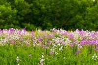 Pink and white fireweed flowers, Ontario, Canada Fine-Art Print