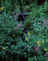 Castle Crest Wildflower Garden Trail, Munson Creek, Crater Lake National Park, Oregon Fine-Art Print
