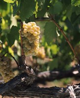 Chardonnay Grapes in Vineyard, Carneros Region, California Fine-Art Print