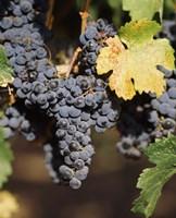 Cabernet Sauvignon Grapes, Wine Country, California Fine-Art Print