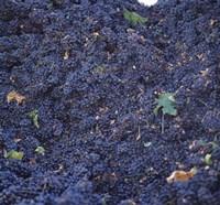 Cabernet Sauvignon Grapes in Vineyard, Wine Country, California Fine-Art Print