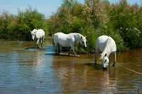 Three Camargue white horses in a lagoon,  Camargue, Saintes-Maries-De-La-Mer, Provence-Alpes-Cote d'Azur, France Fine-Art Print