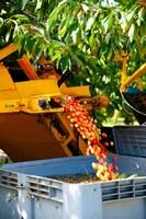 Harvesting Cherries, Cucuron, Vaucluse, Provence-Alpes-Cote d'Azur, France Fine-Art Print