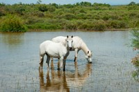 Two Camargue White Horses in a Lagoon, Camargue, Saintes-Maries-De-La-Mer, Provence-Alpes-Cote d'Azur, France (horizontal) Fine-Art Print