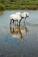Two Camargue White Horses in a Lagoon, Camargue, Saintes-Maries-De-La-Mer, Provence-Alpes-Cote d'Azur, France (vertical) Fine-Art Print