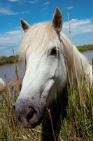 Close up of White Camargue Horse, Camargue, Saintes-Maries-De-La-Mer, Provence-Alpes-Cote d'Azur, France Fine-Art Print