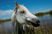White Camargue Horse with Head over Fence, Camargue, Saintes-Maries-De-La-Mer, Provence-Alpes-Cote d'Azur, France Fine-Art Print