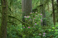 Redwood trees and Rhododendron flowers in a forest, Jedediah Smith Redwoods State Park, Crescent City, California Fine-Art Print