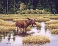 Lone Bull Fine-Art Print