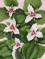 Painted Trillium Fine-Art Print