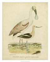 Antique Spoonbill & Sandpipers Fine-Art Print