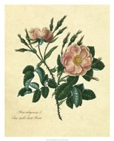 Sweet Briar Rose Fine-Art Print