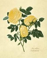 Double Yellow Rose Fine-Art Print