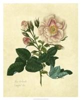 Frankfort Rose Fine-Art Print