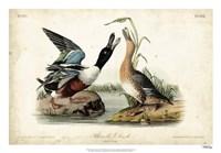 Audubon Ducks I Fine-Art Print