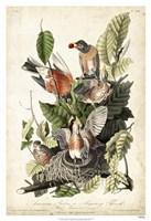 Audubon's American Robin Fine-Art Print