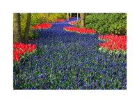 Blue Dutch Tulip Flowerbed Fine-Art Print