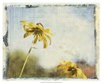 Blackeyed Susans II Fine-Art Print