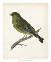 Greenfinch Fine-Art Print