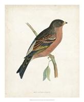 Mountain Finch Fine-Art Print