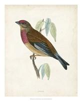 Linnet Fine-Art Print