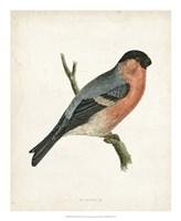 Bullfinch Fine-Art Print