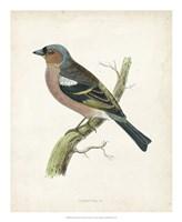 Chaffinch Fine-Art Print