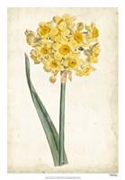 Curtis Narcissus I Fine-Art Print
