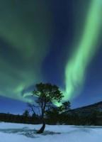 Aurora Borealis Over a Tree Troms, Norway Fine-Art Print