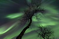 Northern Lights with trees in the arctic wilderness, Nordland, Norway Fine-Art Print