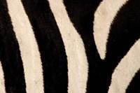 Close-up of Zebra Stripes, Masai Mara, Kenya Fine-Art Print