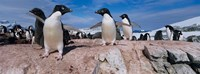 Adelie Penguins With Young Chicks, Lemaire Channel, Petermann Island, Antarctica Fine-Art Print