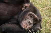 Common Chimpanzee, Sweetwater Conservancy, Kenya Fine-Art Print