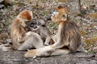 Golden Monkeys with babies, Qinling Mountains, China Fine-Art Print