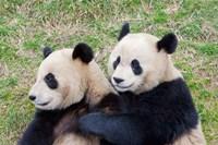 Giant Panda, China Fine-Art Print