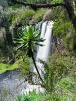 Giant Lobelia in Aberdare National Park, Kenya Fine-Art Print