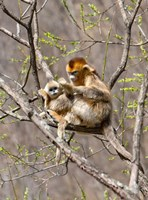 Female Golden Monkey on a tree, Qinling Mountains, China Fine-Art Print