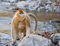 Female Golden Monkey, Qinling Mountains, China Fine-Art Print