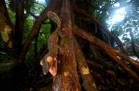 Giant leaf-tailed gecko (Uroplatus fimbriatus), Nosy Mangabe Reserve, Madagascar Fine-Art Print
