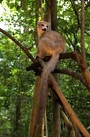 Crowned Lemur (Eulemur coronatus), Ankarana National Park, Northern Madagascar Fine-Art Print