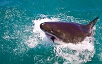Great White Shark, Capetown, False Bay, South Africa Fine-Art Print