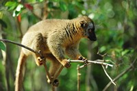 Common Brown Lemur on branch, Ile Aux Lemuriens, Andasibe, Madagascar. Fine-Art Print