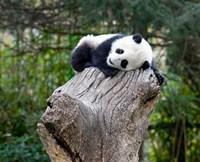 Giant Panda, Wolong Reserve, China Fine-Art Print