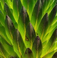 Giant Lobelia in Mount Kenya National Park, Kenya Fine-Art Print