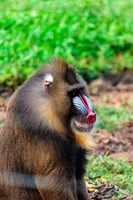Africa, Cameroon, Limbe. Mandrill at Limbe Wildlife Center. Fine-Art Print