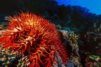 Crown-of-Thorns Starfish at Daedalus Reef, Red Sea, Egypt Fine-Art Print
