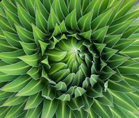 Close up of Giant Lobelia rosette of leaves, Kenya Fine-Art Print