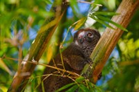 Bamboo lemur in the bamboo forest, Madagascar Fine-Art Print