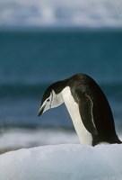 Chinstrap Penguin, Antarctica. Fine-Art Print