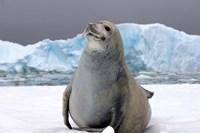 Crabeater seal, saltwater pan of sea ice, Antarctica Fine-Art Print